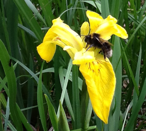 Flag Iris and Bee